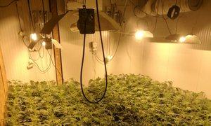 Policisti zasegli več kot 900 sadik konoplje