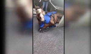 V prometni nesreči na 'primorki' se je prevrnila prikolica s konji