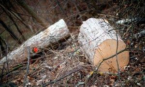V Tivoliju bodo posekali več kot 70 dreves, med obiskom gozda bodite previdni