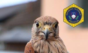 Zaščiteno ptico zadrževal v ujetništvu, grozi mu tri leta zapora