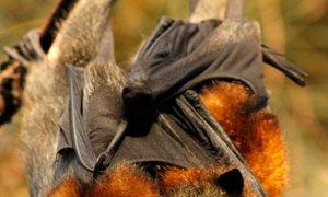 V Avstraliji tako vroče, da netopirji 'padajo z neba'