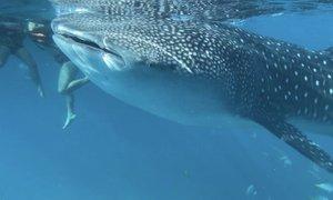 Še pred zajtrkom srečanje z največjo ribo v oceanu