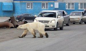Sestradan polarni medved zataval v 700 kilometrov oddaljeno mesto