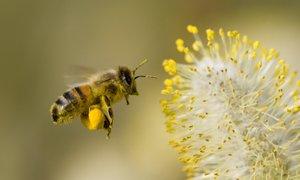 'Koktejl' kmetijskih kemikalij ubije več čebel, kot so sprva mislili