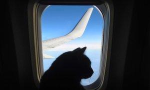 Jezna mačka prisilila pilota, da je obrnil letalo in pristal