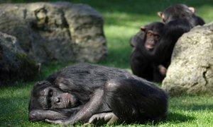 60-letni šimpanz Johnny – eden najstarejših predstavnikov svoje vrste