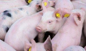Uprava za varno hrano rejce opozarja na nevarnost afriške prašičje kuge