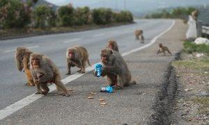 Opice v Indiji napadle zdravstvenega delavca in pobegnile s krvnimi vzorci ...