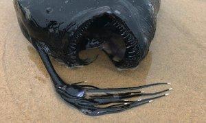 Na kalifornijsko obalo naplavilo globokomorsko spako