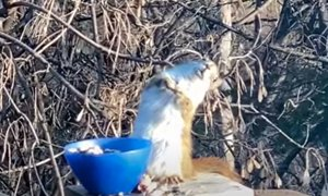 Veverica jedla fermentirane hruške in se opila