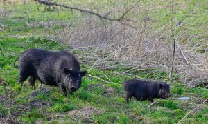 Prebivalce Barcelone napadajo divje svinje