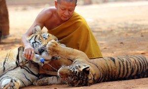 Poginila polovica tigrov, rešenih iz tajskega budističnega templja