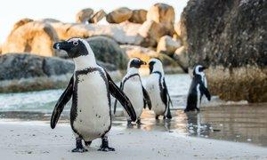 Skupino 63 afriških pingvinov ubil roj čebel