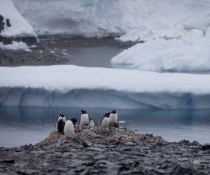 Zaradi uničenja ledene plošče se je utopilo več tisoč pingvinjih mladičev