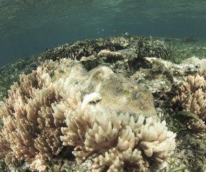 Korale potrebujejo najmanj devet let za okrevanje