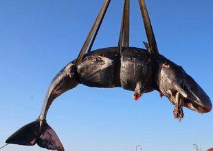 Našli kitovko z več kot 20 kilogrami plastike v želodcu