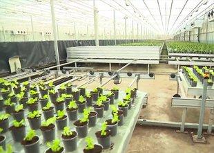 Čez noč so namesto orhidej začeli pridelovati solato in tako ohranili delovna ...