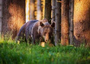 Lovec v silobranu ustrelil medveda. 'Ne pomnimo, da bi bil kdaj medved na ...