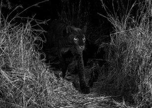 Prve fotografije izmuzljivega afriškega črnega panterja po 110 letih