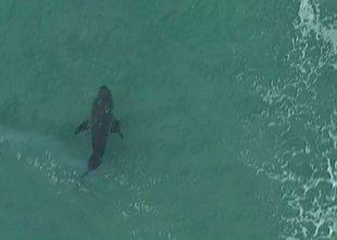 Na priljubljeni avstralski plaži morski pes ubil deskarja