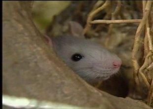 Letos že 79 primerov mišje mrzlice v Sloveniji