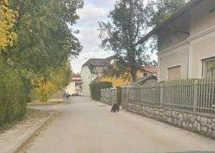 Po kočevskih ulicah se sprehaja medvedji mladič