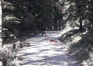 'Trop volkov se je verjetno odpravljal na lov'
