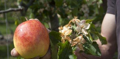 Letos verjetno ne bo slovenskih jabolk