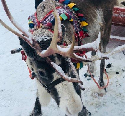 Povprečna teža odraslega severnega jelena se je v nekaj letih s 55 znižala na 48 kilogramov.