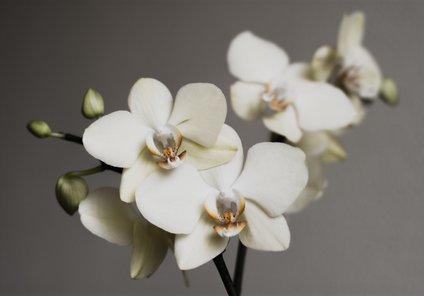 Nasploh je orhidejam najbolj prijazna relativna vlažnost zraka med 60 in 70 odstotki.