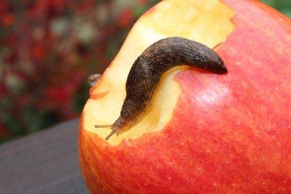Tudi jabolka imajo radi, zato jih lahko uporabimo kot vabo.