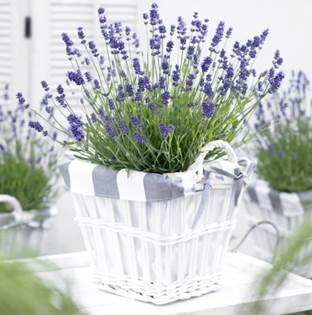 Sivka bo poskrbela, da bo vrt izjemno lepo dišal.