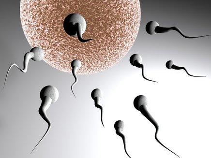 Semenčice imajo od štiri do pet dni življenjske dobe.