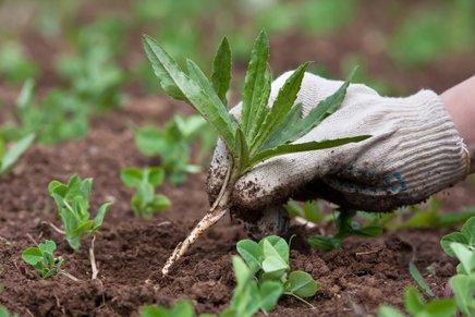S sodo bikarbono se lahko uspešno znebimo tudi plevela!