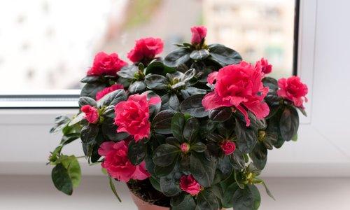 Išče se najlepša sobna rastlina