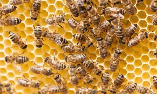 Svet za čebelarstvo o osnutku programa ukrepov do 2022