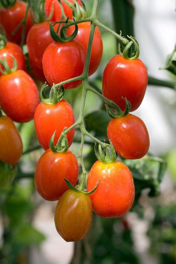 Evropejci so bili na začetku prepričani, da je paradižnik strupen.