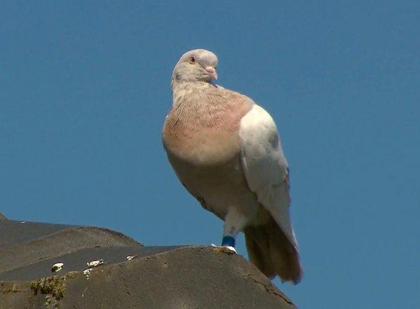 Ameriški golob Joe je prepotoval Tihi ocean, zdaj pa mu v Avstraliji grozi ...