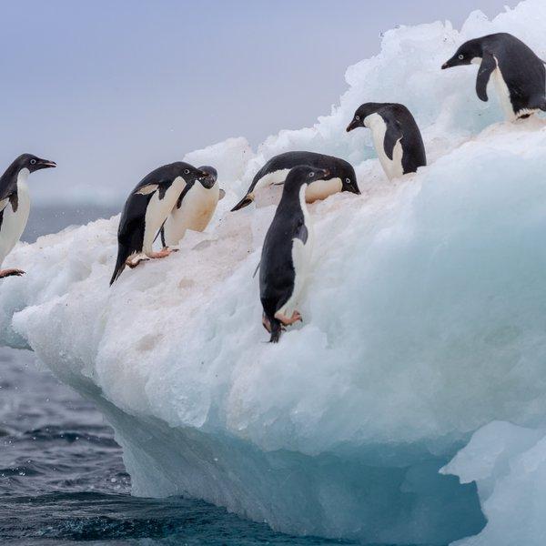 Posnetek simpatičnega pingvina zaokrožil po svetu