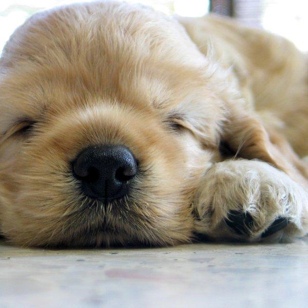 Najbolj priljubljena pasma psa na svetu