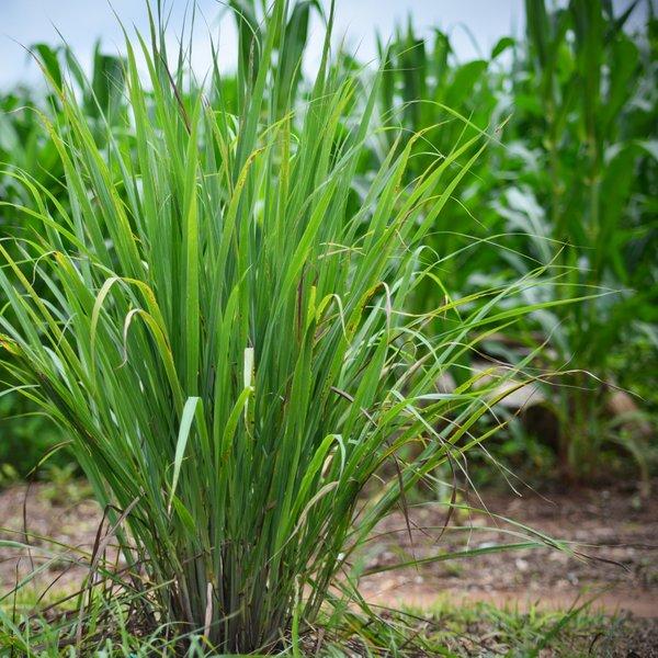 Limonska trava – čudež ali preprosta rastlina?