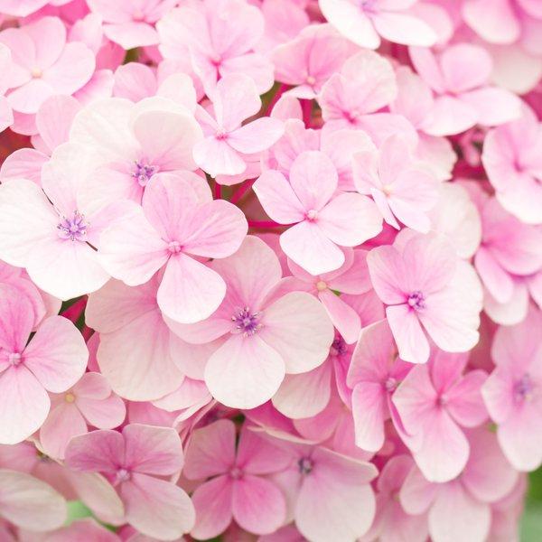 Tega o hortenzijah zagotovo še ne veste