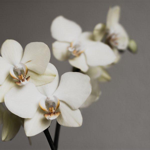 Tako je treba skrbeti za orhideje, da bodo uspevale