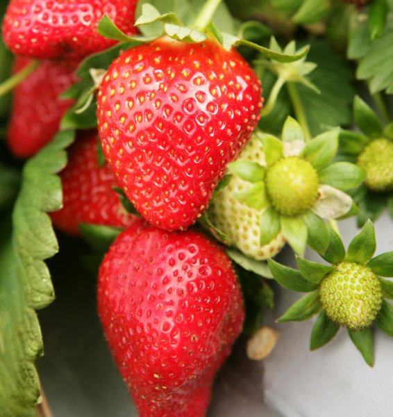 Koristni nasveti za gojenje jagod