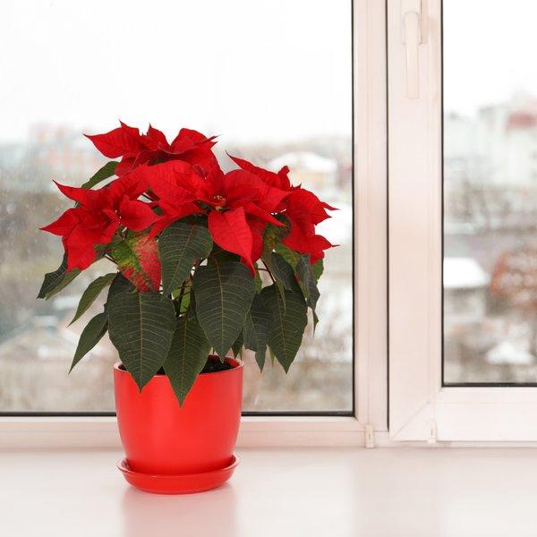S tem trikom bo božična zvezda spet rdeča