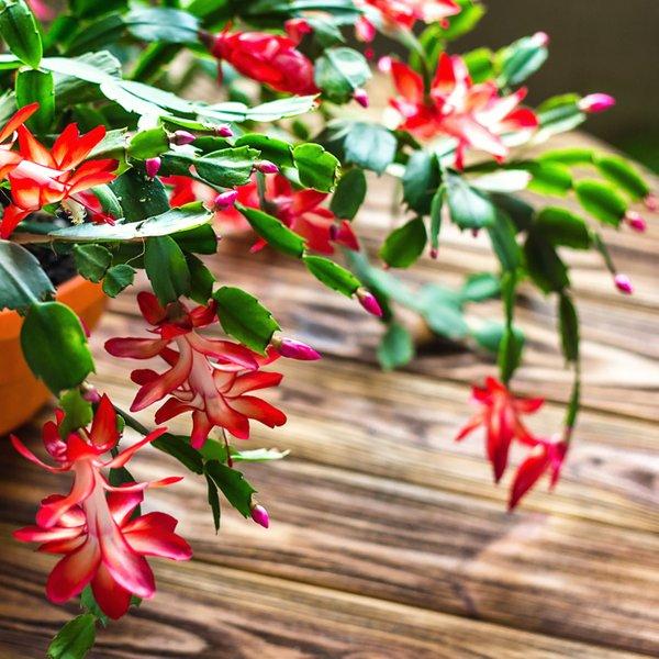 Kako skrbeti za božični kaktus?
