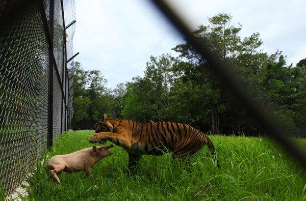 Tiger in prašiček - 2