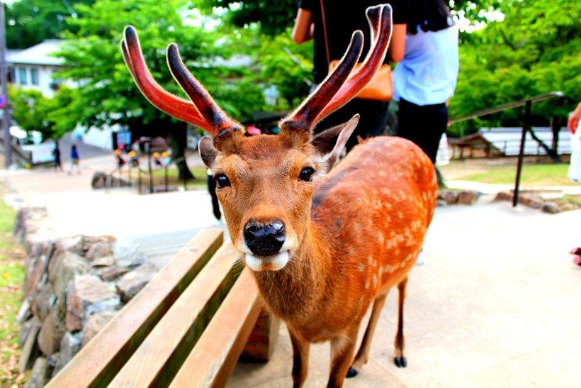 Iz Fundacije za ohranjanje jelenov Nara so sproročili, da je v zadnjih štirih mesecih po zaužitju plastike poginilo devet znamenitih sika jelenov.