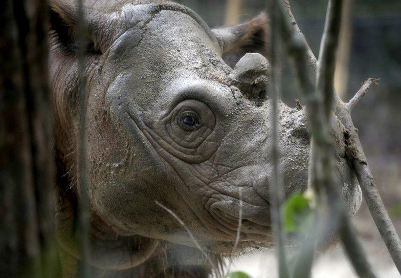 Sumatrski nosorog