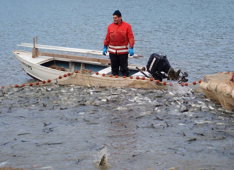 Skakavke so ene tistih rib, ki so v zadnjih letih razširile območje svoje razširjenosti proti severu.